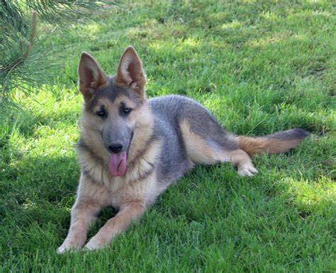 german shepherd puppies with blue 2017 facts about small blue german shepherd pictures images wallpapers