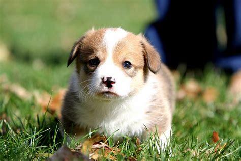 corgi puppy cost cost of a cardigan corgi gray cardigan sweater
