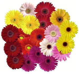 gerbera colors gerbera and other oid flowers arnold zwicky s