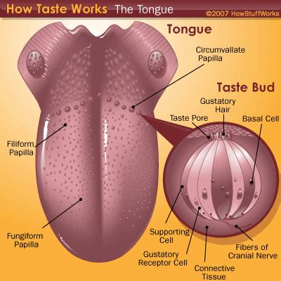 diagram of the tongue and taste buds sensation to perception taste perception howstuffworks