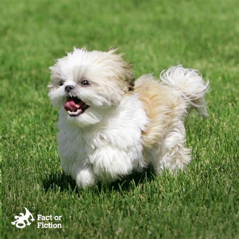 tibetan names for shih tzu fact or fiction shih tzus were originally used by tibetan monks to help guard the
