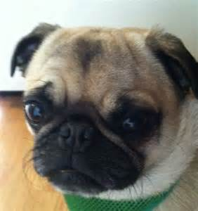 pug for rescue pacific pug rescue fuzzy marvels pug rescue and pug