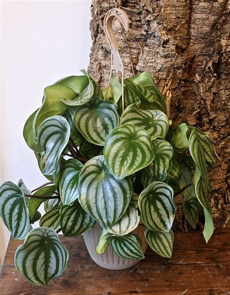 exotic house plants 113 best images about peperomia on pinterest vivarium golden girls and ecuador