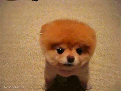 puppy animated gif gif gifs animals natgeo boo the natgeo gifs
