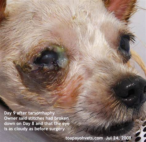ulcers in dogs eye ulcer pictures to pin on pinsdaddy