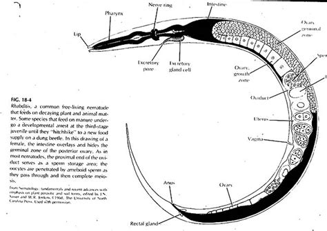 diagram of nematode related keywords suggestions for nematode anatomy