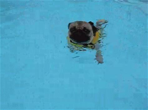 pug jacket swimming pug paddle gif pug swim discover gifs