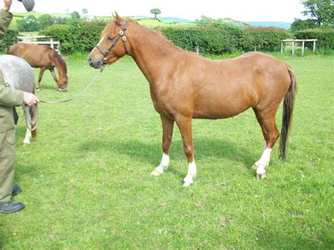 welsh section b welsh section b chestnut mare corwen denbighshire