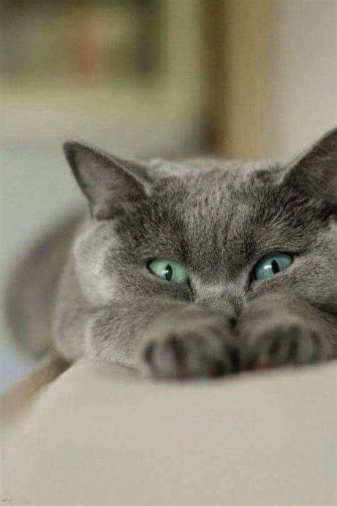 best 25 blue cats ideas on grey cats