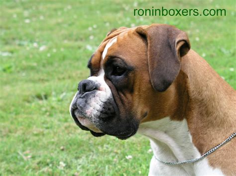 boxers dogs ronin boxers wallpaper