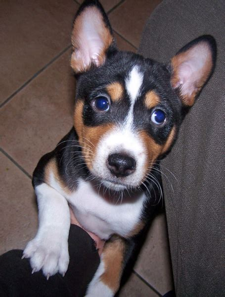 basenji puppy cost dogn basenji puppy photos png hi res 720p hd