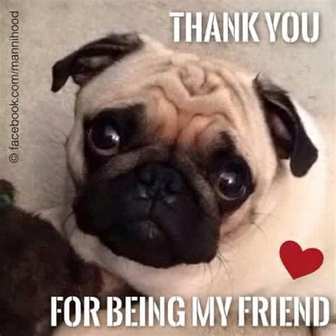 pug saying thank you 909 best images about animals and pugs on pug costumes and pug