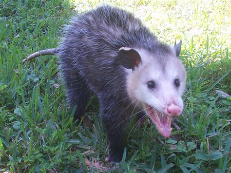 Opossum Photograph 015   They are usually active only at