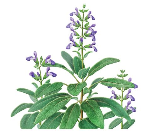 Where To Buy Herb Plants by Sage Herbal Supplement Herbal Teas