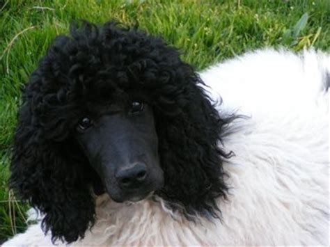 parti colored poodle 16 best images about peace and poodles