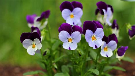 small beautiful pics small beautiful flowers pansy wallpapers and images