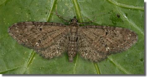 common pug hants moths 70 183 common pug eupithecia vulgata