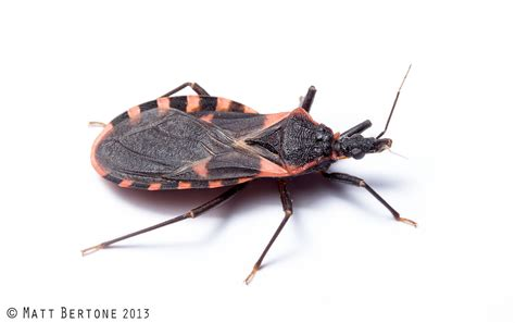 what is a bed bug remain calm kissing bugs are not invading the us wired