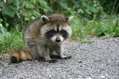baby marder driver in front of me purposely ran baby raccoon