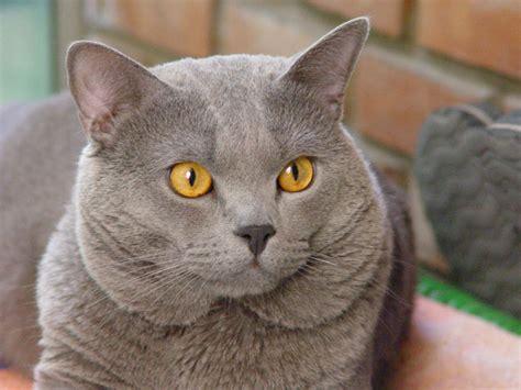gatti persiani grigi il gatto di razza certosino gatti co dove i gatti