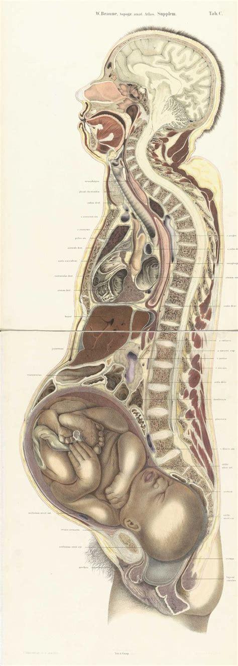 female anatomy cross section pregnant female body cross section by wilhelm braune