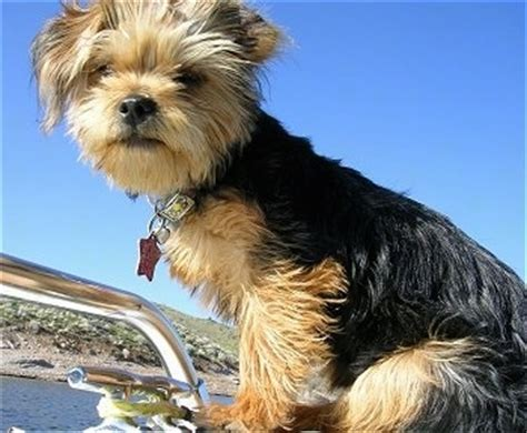 yorkie poo grown weight yorkie poo grown image search results photo breeds picture