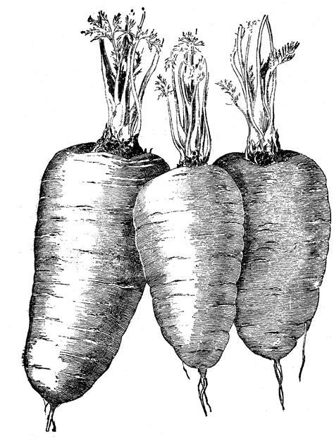 Vintage Vegetable Clip Art   Carrots   The Graphics Fairy