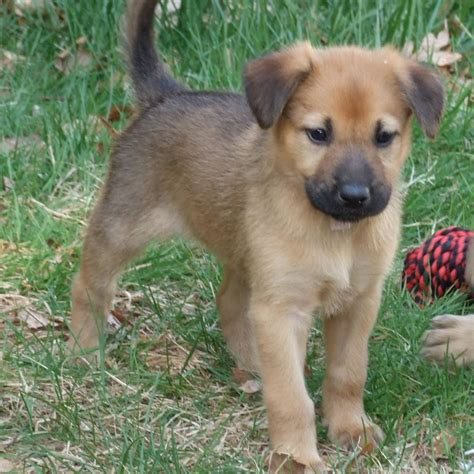 chinook puppy chinook breed guide learn about the chinook