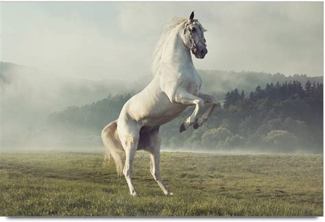 amy beautiful white horse photographic paper nature