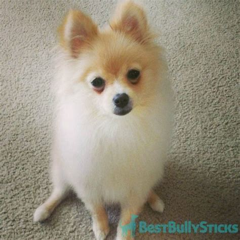 pomeranian 5 months 17 best images about pomeranians on