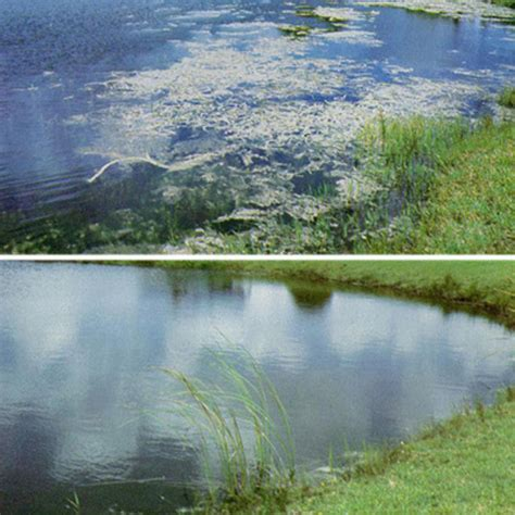 Ponds Scrub what is the difference between white amur and grass carp