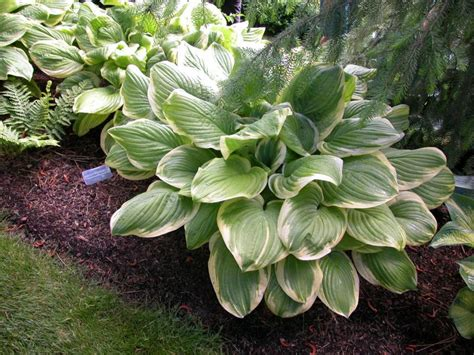 green foliage plants for sun maine hosta hostas f