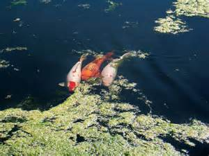 Quick Guide to Koi Breeding   Koi and Goldfish breeding tips