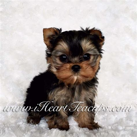 micro yorkie micro teacup yorkie price www pixshark images galleries with a bite