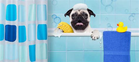 do pugs shed hair pug shedding tips information do pugs shed