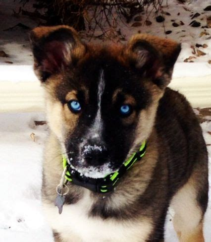 german shepherd and husky puppies german shepherd husky mix information pictures and
