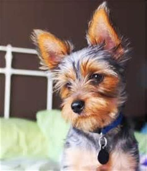 yorkie haircuts for a silky coat 1000 ideas about yorkshire terrier haircut on pinterest