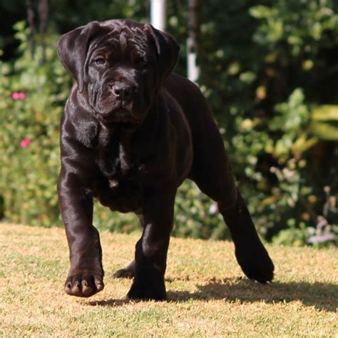 black boerboel puppies for sale 120 best images about dogs on blue nose pitbull puppies blue nose pitbull