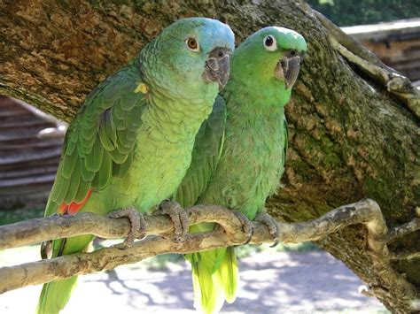 wallpaper of green parrot green parrots latest hd wallpapers free hd wallpapers