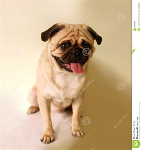how to a pug to sit pug sitting stock images image 479044