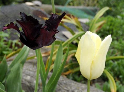 fiore tulipano nero tulipano nero fiori e fogliefiori e foglie