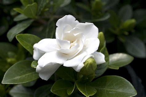 Gardenia by Gardenia Crown Jewel Planthaven International
