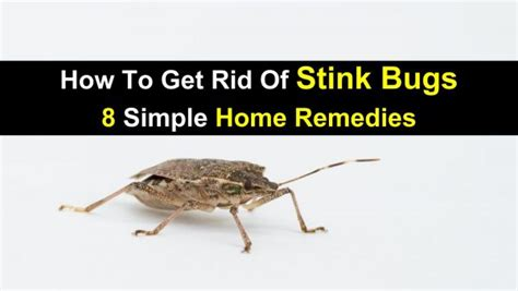 get rid of bugs in backyard how to get rid of stink bugs 8 simple home remedies