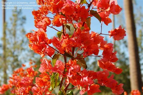 plantfiles pictures bougainvillea orange king