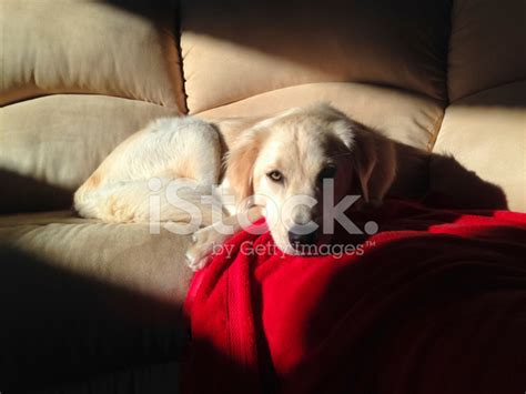 by good morning golden retriever young golden retriever on sofa morning light stock photos