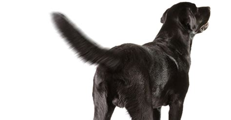 why do dogs tails wag why do dogs wag their tails page 2