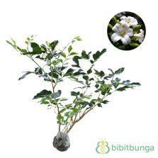 Bibit Bunga Casablanca jual bibit tanaman bunga harum bibitbunga
