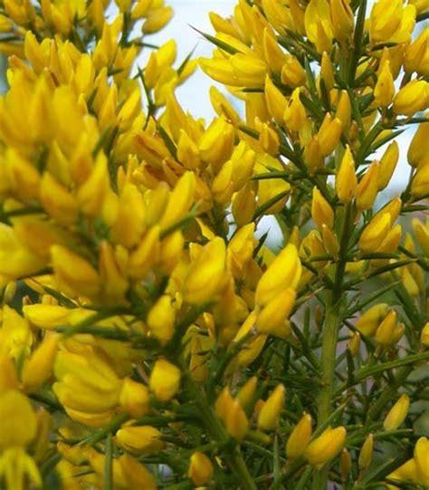 pianta sempreverde con fiori u di ulex europaeus o ginestre spinose arbusto
