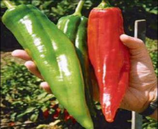 Bibit Benih Seed Cabe Unik Fish Pepper Chili harga benih biji cabe dorset naga import di kota denpasar bali id priceaz