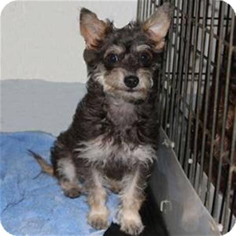 yorkie schnauzer mix information reeta courtesy adopted puppy redondo ca yorkie terrier